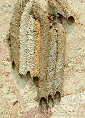 Mud dauber - New organ pipe mud dauber wasp nest showing different muds gathered at different places.
