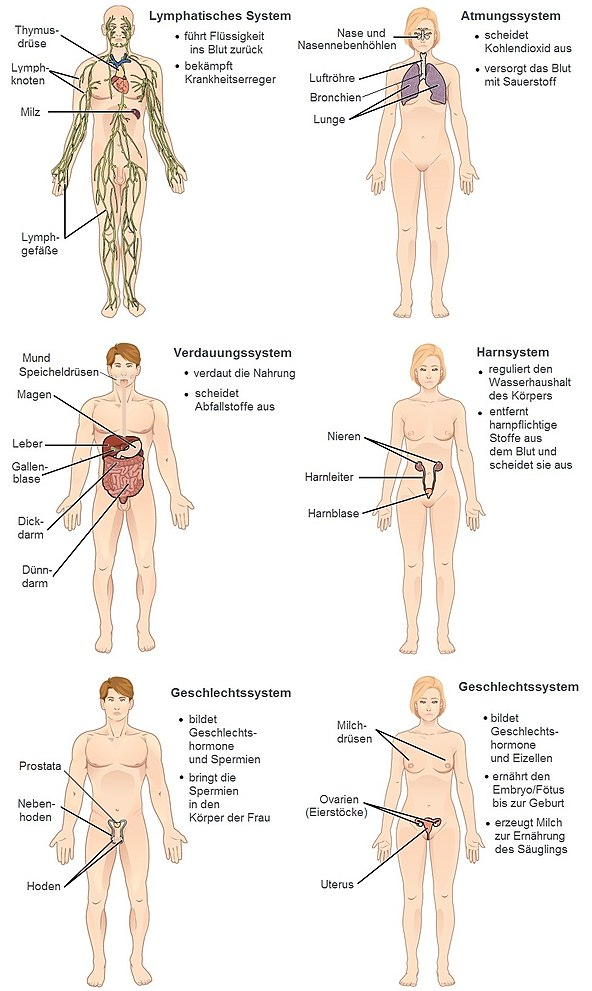 Tolle Menschliche Organsysteme Zeitgenössisch - Anatomie und ...