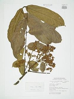 Ormosia coccinea (Aubl.) Jacks.jpg
