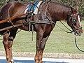 Orsopapera-cavallo 001.JPG