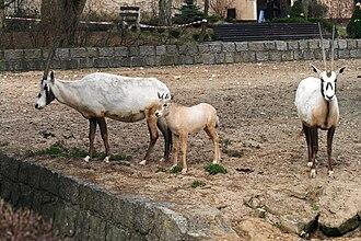 Arabian oryx - Image: Oryx leucoryx Dvur zoo 3