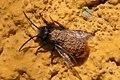Osmia bee with phoretic mites 01.jpg