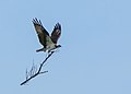 Osprey With Nest Material (13600368084).jpg