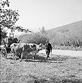 Ossenkar met oogstkuipen, Bestanddeelnr 254-4189.jpg