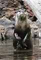Otter 4 (3308778127).jpg