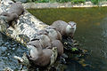 Otters on a log again.jpg