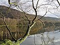 Overhanging Tree on Lake Gormire - geograph.org.uk - 159995.jpg