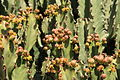 Pájara Morro Jable - Calle Sancho Panza - Euphorbia ingens 02 ies.jpg