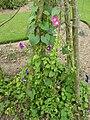 P1000430 Ipomoea purpurea (Morning Glory) (Convolvulaceae) Plant.JPG