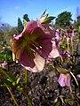 P1130493 Helleborus orientalis ssp. orientalis (Ranunculaceae).JPG
