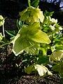 P1130507 Helleborus odorus (Ranunculaceae).JPG
