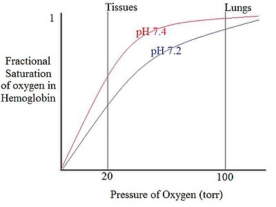 Effect of pH on the oxygen affinity of Hemoglobin