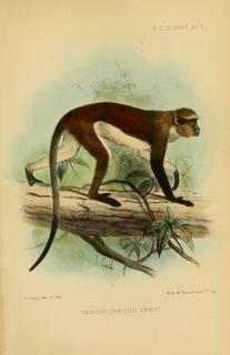 Dents mona monkey Species of Old World monkey