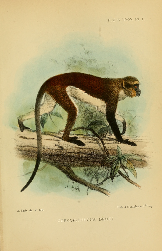 The average litter size of a Dent's mona monkey is 1