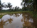 Paddy Fields at Pombra by Ramesh Kunnappully 20200826 075051.jpg