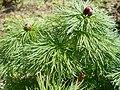 Paeonia tenuifolia 2017-04-20 8143.jpg