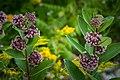 Pair of Milkweed Plants PLT-FL-WD-MW-10.jpg