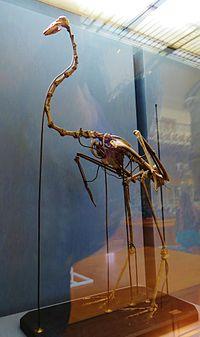 http://upload.wikimedia.org/wikipedia/commons/thumb/7/7b/Palaeolodus_ambiguus_skeleton.JPG/200px-Palaeolodus_ambiguus_skeleton.JPG