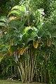 Palma areca (Dypsis lutescens) (14395692730).jpg
