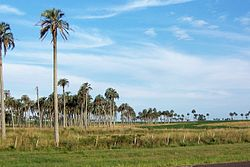 Palmares de palma yatay en el noroeste departamento de departamento de