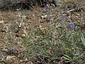 Palmer lupine, Lupinus argenteus var. palmeri (38391636622).jpg