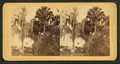 Palmetto and Moss trees in Florida, from Robert N. Dennis collection of stereoscopic views.png