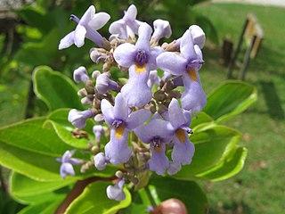 <i>Cornutia</i> genus of plants
