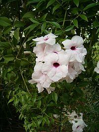 Pandorea jasminoides LeavesFlowers BotGard0906