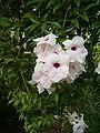 Pandorea jasminoides LeavesFlowers BotGard0906.JPG