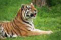 Panthera tigris at the Bronx Zoo 009.jpg