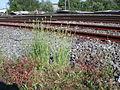 Papaver dubium railway station Ruderalflora1.jpg