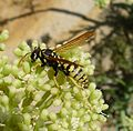 Paper Wasp. Polistes sp. ( gallicus) - Flickr - gailhampshire.jpg
