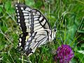 Papilio machaon BS 17.jpg