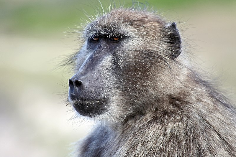 The form and function of post-conflict interactions between female baboons