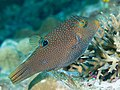 Papuan toby (Canthigaster papua) (47040739344).jpg