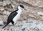 Paradise Bay Bird Antarctica (47284346422).jpg