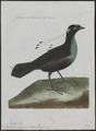 Paradisea sexpennis - 1790-1796 - Print - Iconographia Zoologica - Special Collections University of Amsterdam - UBA01 IZ15700149.tif