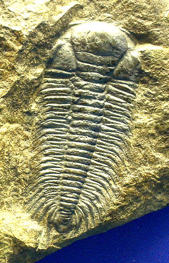 Paradoxides - Paradoxides gracilis, lacking the free cheeks and with the spines on the most backward thoracic segment broken off