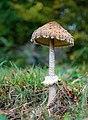 Parasol oder Riesenschirmpilz 1 (Macrolepiota procera), Schönbüch, Schwarzwald Mitte-Nord, Baden-Württemberg.jpg