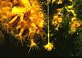 Parazoanthus axinellae (Schmidt, 1862) 3.jpg