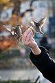Paris birdfeeding - Passer domesticus.jpg