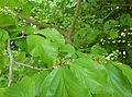 Parrotia persica-flowers and youg fruits 01.jpg