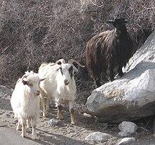 La capra changthangi, la cui lana è utilizzata per realizzare la pashmina tradizionale.