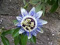 Passion Flower at Hindon - geograph.org.uk - 890935.jpg