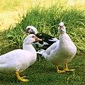 Patos (8210871440).jpg