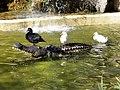 Patos valientes del Parque Genovés (9873920803).jpg