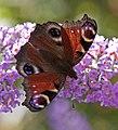 Peacock butterfly 3 (3845600539).jpg