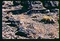 Pediocactus simpsonii in SW Idaho 2.jpg