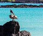 Pelícano pardo de las Galápagos (Pelecanus occidentalis urinator), Cerro Brujo, isla de San Cristóbal, islas Galápagos, Ecuador, 2015-07-24, DD 160.JPG