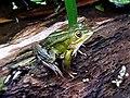 Pelophylax spec. (Ranidae) - (adult), Elst (Gld), the Netherlands.jpg